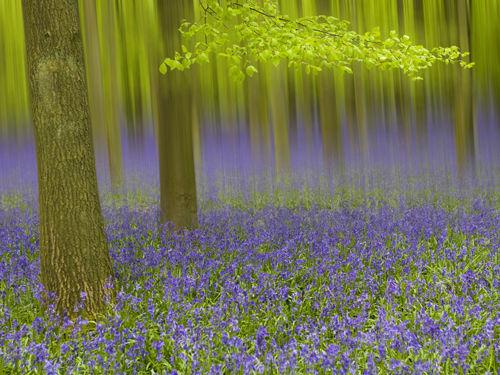 bluebell-wood