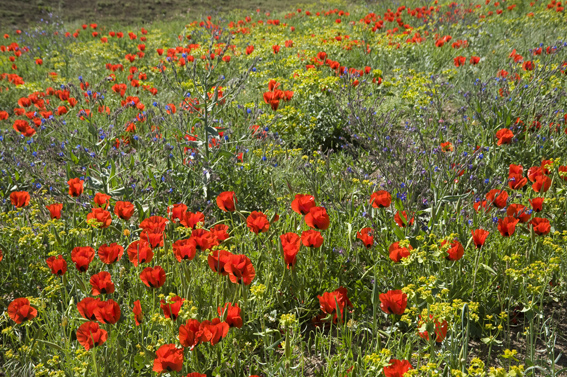 A floriferous field with large poppies in southernTurkey