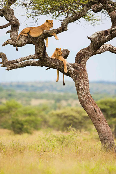 lions-in-tree