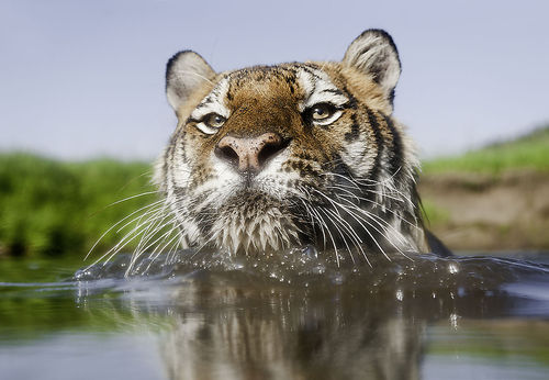 tiger-swimming