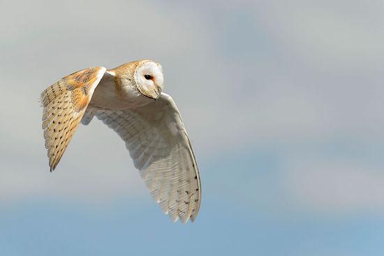 owl-in-flight